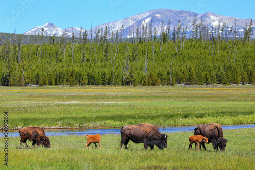 Wallpaper Mural Female bison with calves grazing in Yellowstone National Park, Wyoming