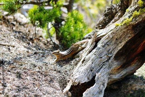 Fényképezés Chipmunk By Tree In Glacier National Park