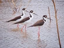 Three Black-necked Stilt In Water