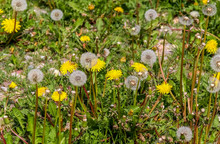 Close Up View At A Blowball Flower Found On A Green Meadow Full Of Dandelions