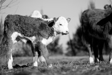 Hereford Calf With Herd Of Cow...