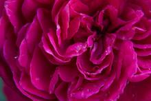 Full Frame Shot Of Water Drops On Purple Rose Flower