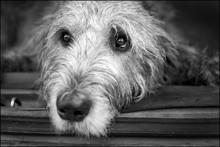 Close-up Of Irish Wolfhound At Home