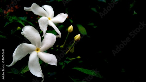 Fotografia Close-up Of White Jasmine Flowers At Night
