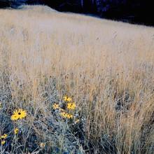 Black-eyed Susan Growing On Grassy Field