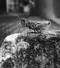 Grasshopper On Weathered Wall