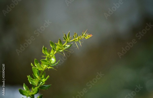 Fototapety, obrazy: Close-up Of Thorn Plant