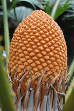 Close-up Of Sago Palm Flower