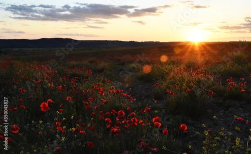 Fototapeta a red beautiful poppies at sunset in the Green field obraz na płótnie