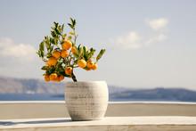 Orange Tree In A Pot Blue Sea ...
