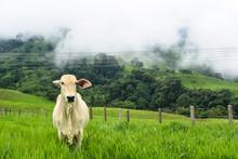 Cebu Cow In A Green Pasture Lo...