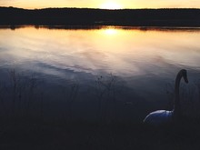 Swan In Lake Against Sky During Sunset