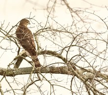 Low Angle View Of Coopers Hawk Perching On Bare Tree