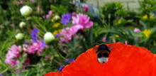 Close-up Of Bumblebee Flying On Red Flower Blooming Outdoors