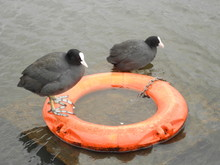 High Angle View Of Coots On Buoy
