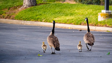Canada Goose  On The Parking Lot
