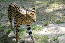 Serval Walking On Grass