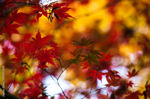 Close-up Of Autumn Leaves On Twigs #350074010