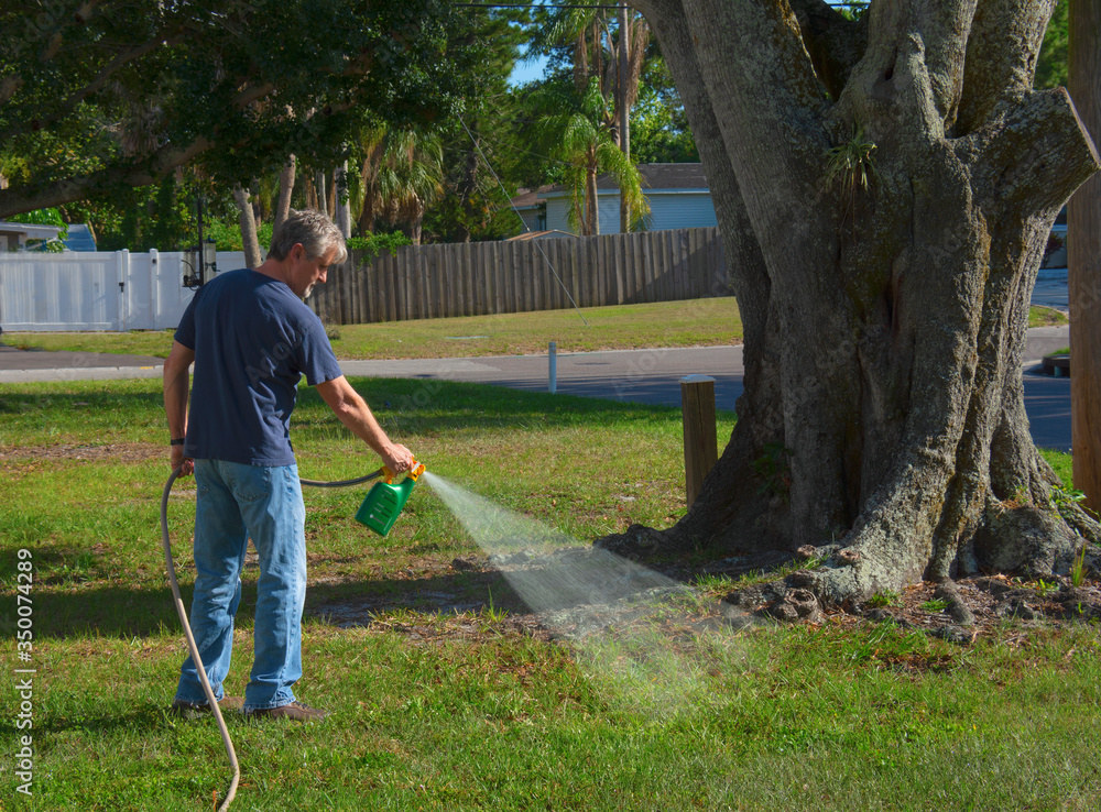 Fototapeta Homeowner man spraying weed killer on his front yard with a hose attachment full of chemicals that kills weeds and fertilizes the grass.