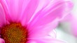 canvas print picture - Detail Of Pink Daisy Blooming Outdoors
