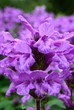 canvas print picture - Close-up Of Purple Flowers Blooming