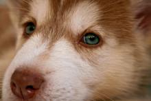 Close-up Of Siberian Husky Puppy