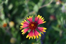 A Closeup Of An Indian Blanket Wild Flower Blossom - A Brilliant Combination Of Red, Orange, And Yellow Resembles Brightly Woven Fabric. Also Called Firewheel
