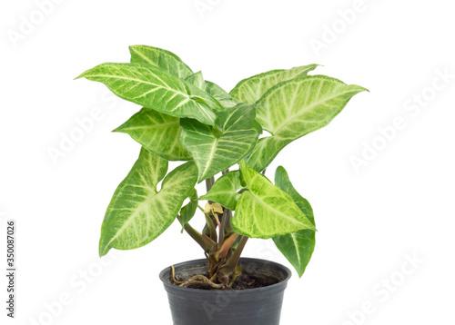 Fresh green arrowhead vine plant (Syngonium podophyllum) in black pot isolated o Canvas Print