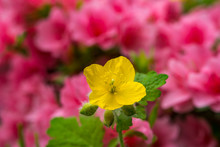 Yellow Greater Celandine Surrounded By Pink Azaleas.