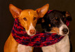 beautiful two dogs posing together with a scarf