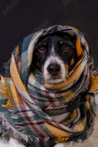 Obraz dog posing with a colorful scarf - fototapety do salonu