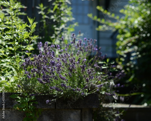 Image Of Beautiful Lavender Plants
