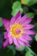 canvas print picture - 4 lotus