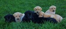 Labrador Retriever Puppies On Grassy Field