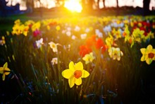 Daffodils Flower Blooming On F...