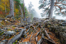A Big Root System Of An Old Ta...