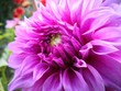 canvas print picture - Close-up Of Pink Dahlia