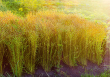 Planting Of Flax With Unripe Seed Capsules At Sunset