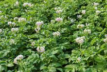Flowering Potatoes On The Field
