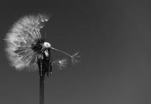 Single Dandelion Against Sky