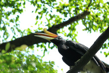 The Great Hornbill (Buceros Bi...