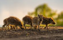 Herd Of Small Wild Boars Pigl...