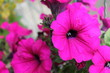 canvas print picture - Close-up Of Pink Flowers