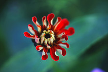 Close-up Of Red Zinnia Blooming Outdoors