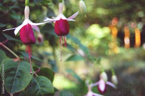 Obraz na płótnie Fresh Pink Fuchsias Blooming In Park