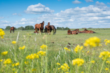 Many Brown Horses In Green Mea...