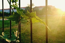 Creeper Plant By Metal Gate During Sunset