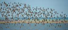 A Large Flock Of Sandpipers Fl...
