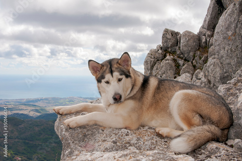 Photo Animales de compañia, alaskan malamute