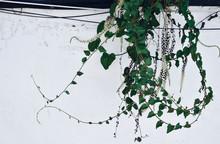 古い白壁と花蔦Processed...